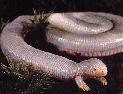 ajolote_ular-berkaki2