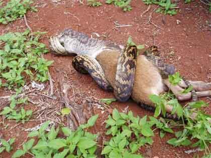 Foto Ular Menelan Abis Seekor Kangguru - Aneh Di Dunia