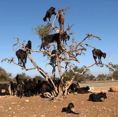 beritamaya-kambing-pemanjat-tebing1
