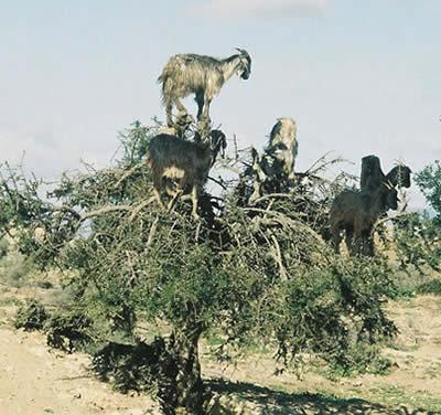 beritamaya-kambing-pemanjat-tebing2