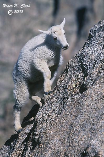 c071302.05.34-600.baby.goat