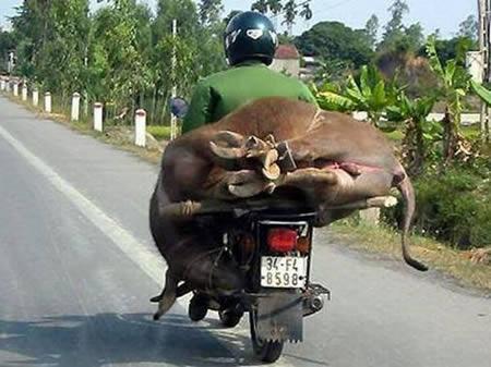 hewan-boncengmotor