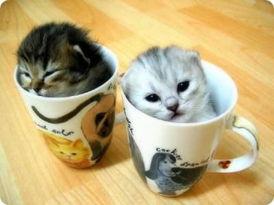 dan manis ini apakah anda mau dua cangkir kucing manis