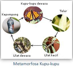 metamorfosa-kupu-kupu